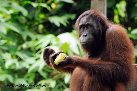 selingan-Orangutan